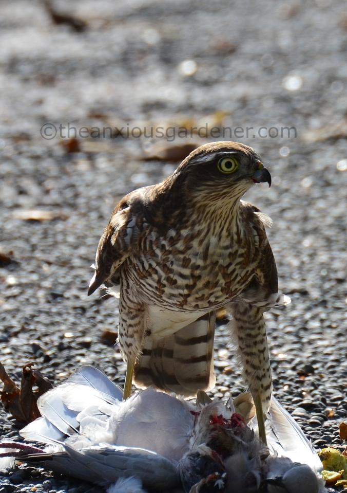 Sparrowhawk (9)