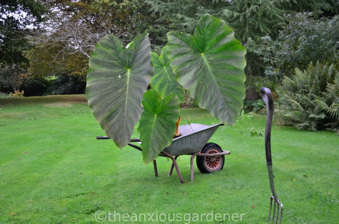 The Old Wheelbarrow (6)