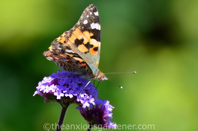 Butterfly Painted Lady (1)