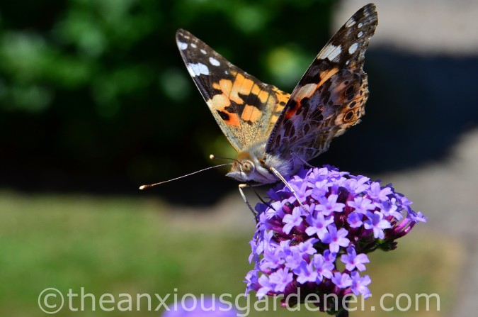 Butterfly Painted Lady (2)