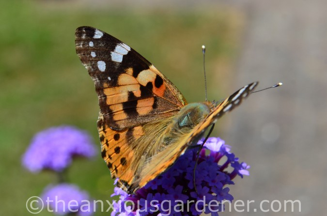 Butterfly Painted Lady (3)