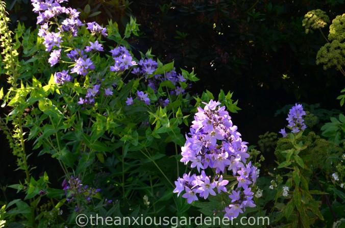 Campanula lactiflora 'Pritchard_s Variety (1)