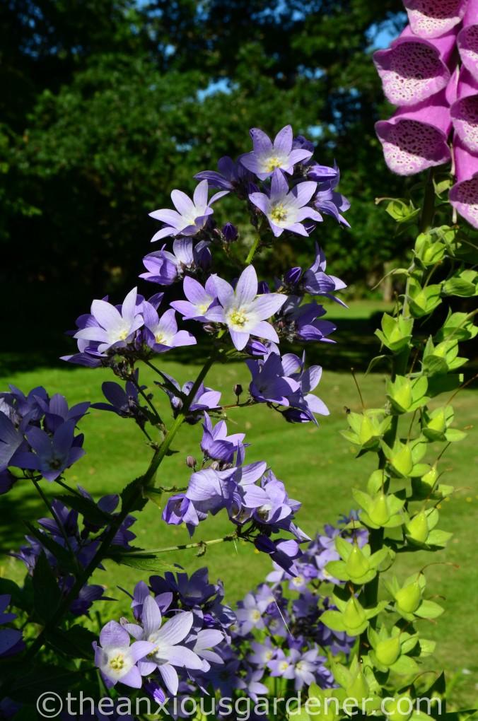 Campanula lactiflora 'Pritchard_s Variety (2)