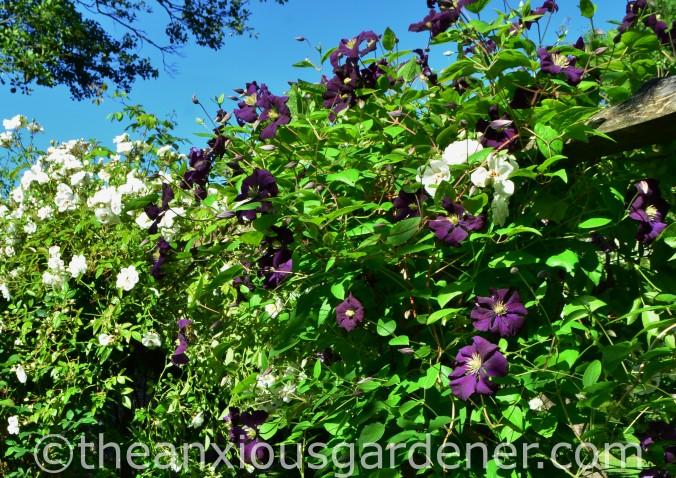 Clematis 'Etoile Violette_ (2)