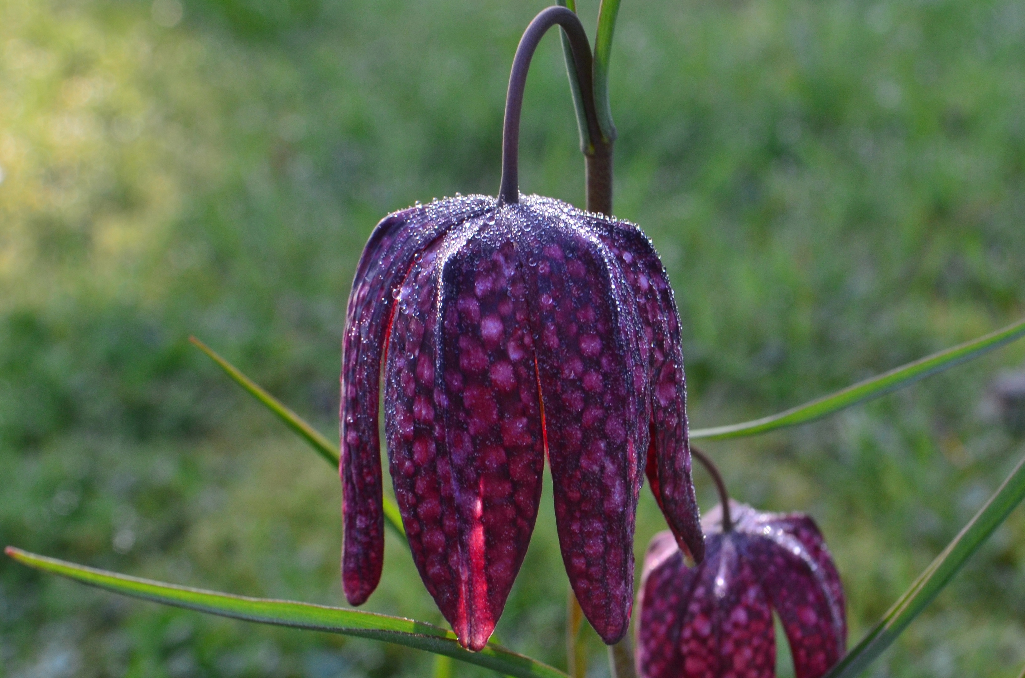 Fritillaria Meleagris – The Snake's Head Fritillary