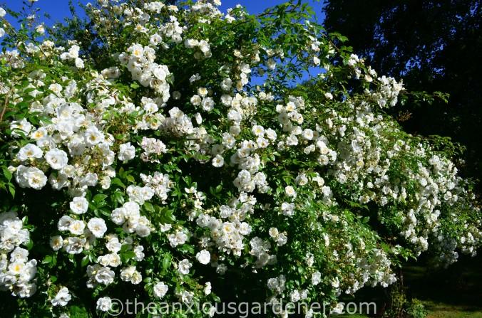 Rosa 'Sander_s White_ (1)