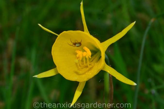 Narcissus Conspicuus (1)