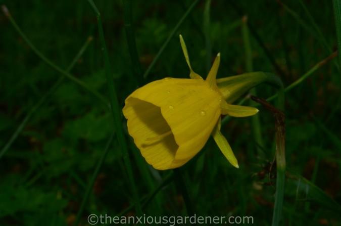 Narcissus Conspicuus (2)