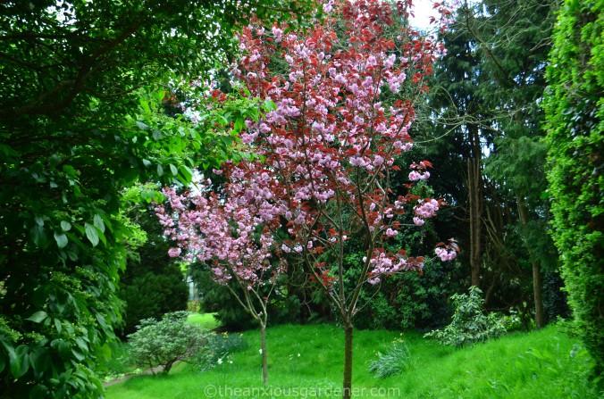 Prunus Serr. Kanzan Rubra