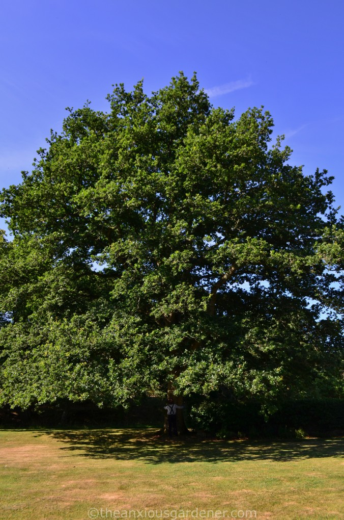 The Priory Oak (2)