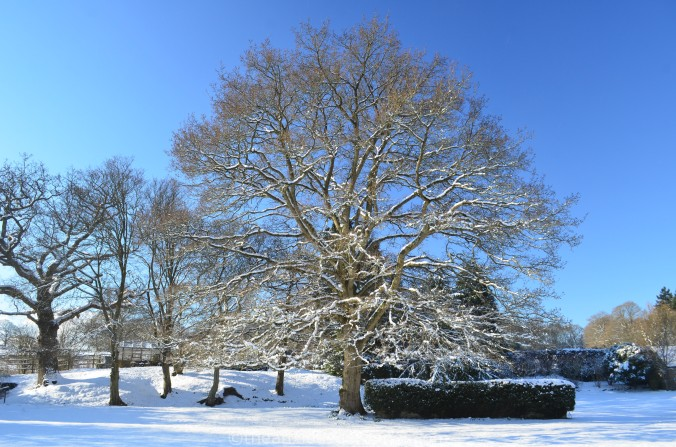 The Priory Oak
