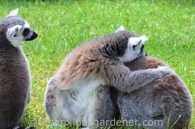 Ringtailed Lemur (2)