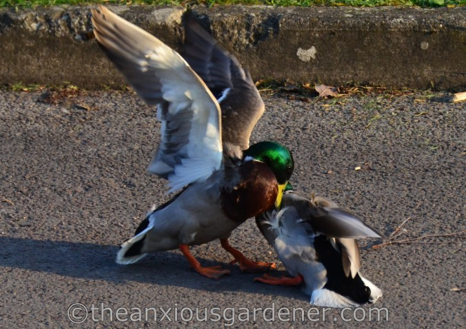 Fighting Mallard Ducks (1)