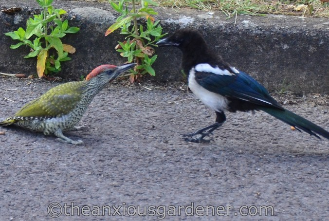 Magpie and the Woodpecker (2)
