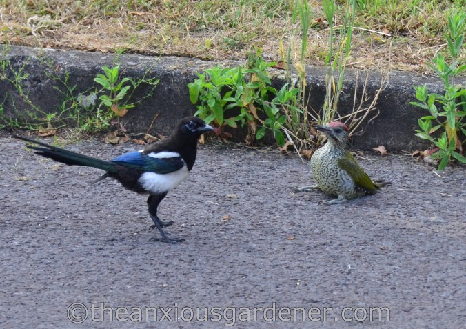 Magpie and Woodpecker (1)