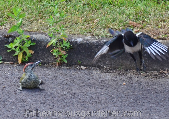 Magpie and Woodpecker (5)
