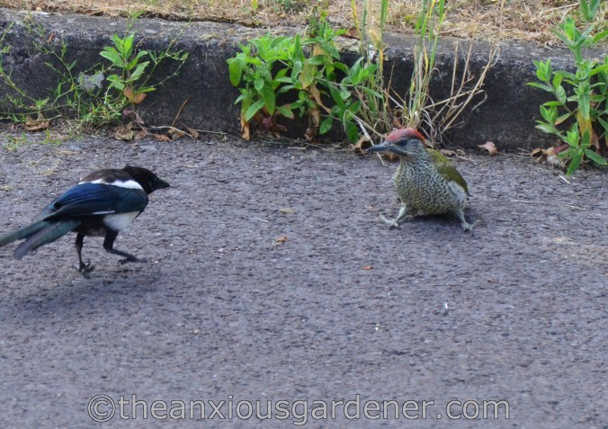 Magpie and Woodpecker (7)