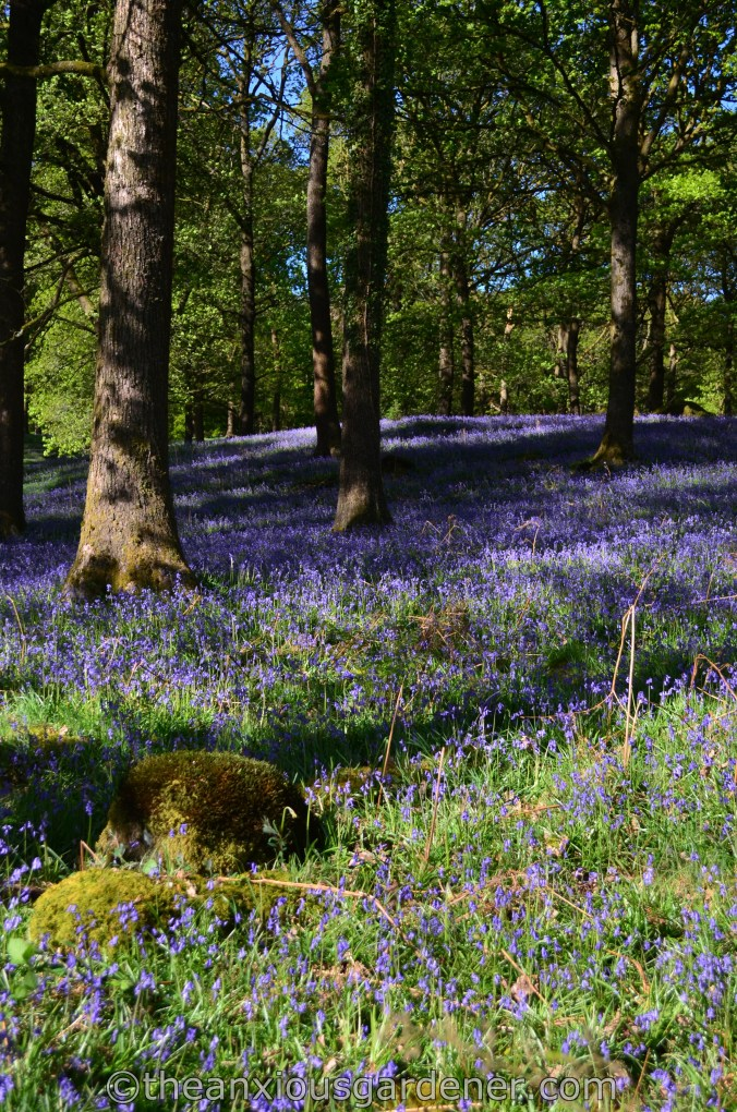 Bluebells Lake District