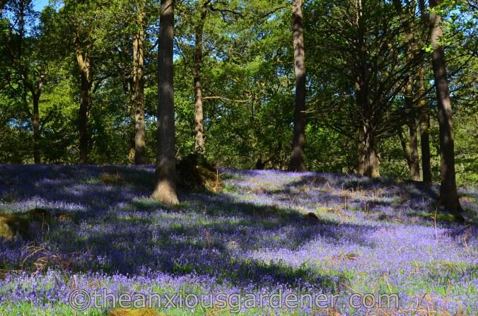 Lake District Bluebells